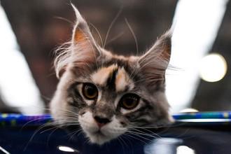 Котенок породы мейн кун на международной выставке кошек «Кэтсбург» 2016 в МВЦ «Крокус Экспо»