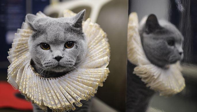 Британский кот