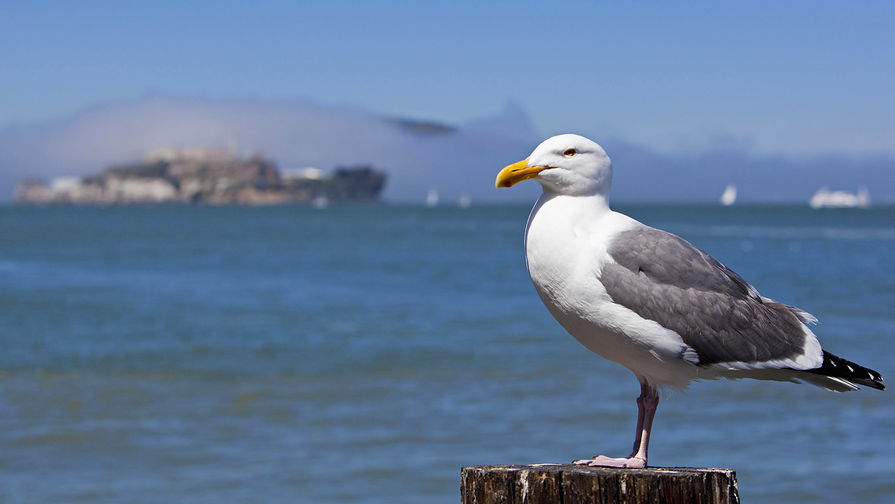Чайка на фоне острова Алькатрас, 2016 год