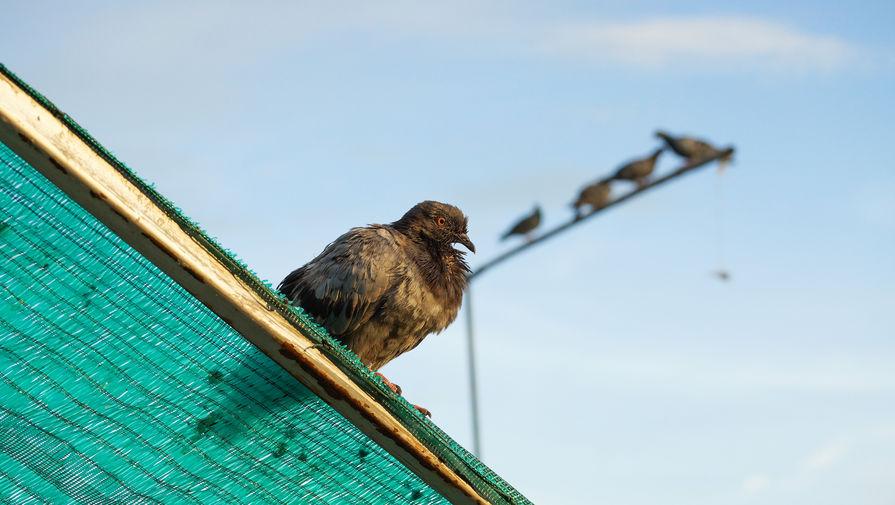 В Австралии могут убить голубя-американца Джо