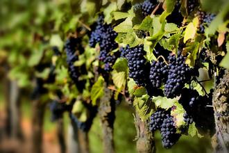 Зря смуглянка-молдаванка собирает виноград