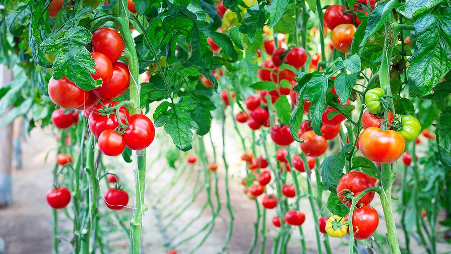 Несколько стран зарегистрировали вспышку нового вируса томатов