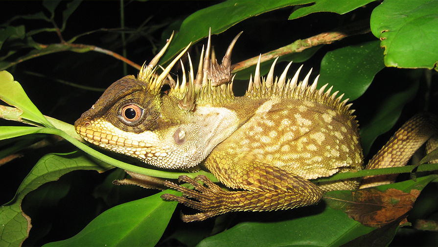 Ящерица Acanthosaura phuketensis