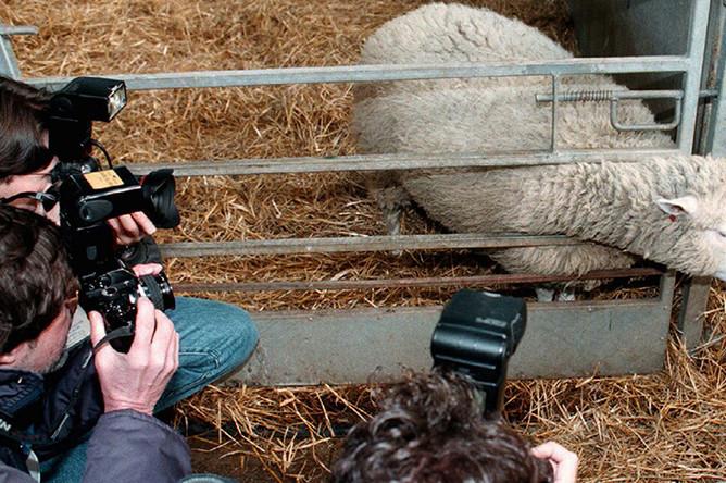 Журналисты фотографируют овечку Долли