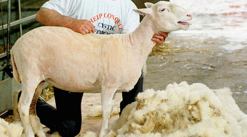 Секс c овцой