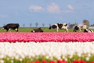 Претензии Россельхознадзора вызвали в том числе голландские тюльпаны и молоко