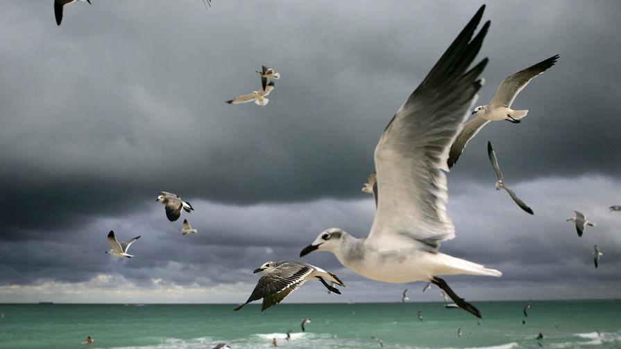 Птицы на пляже Майами-Бич (курортный город в штате Флорида). Майами и его окрестности уже давно стали домом для многих россиян
