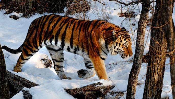 «Боимся выходить»: в Приморье нашествие амурских тигров