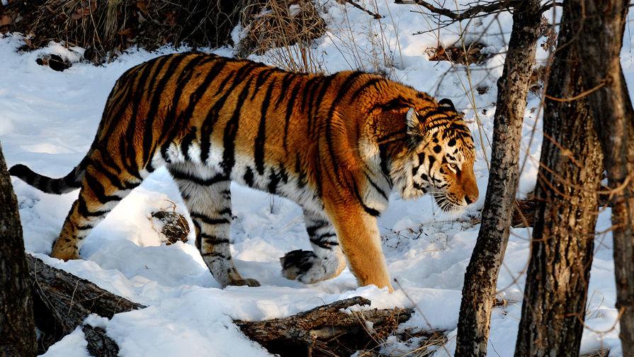 В Приморье ловят тигра, с января нападающего на собак