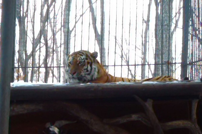 Козел по кличке Тимур выжил тигра Амура из спальни в Приморском сафари-парке.