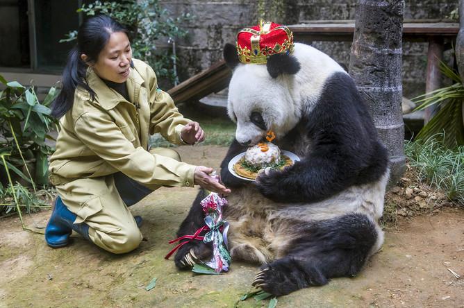 Гигантская панда Баси поедает торт в честь своего юбилея