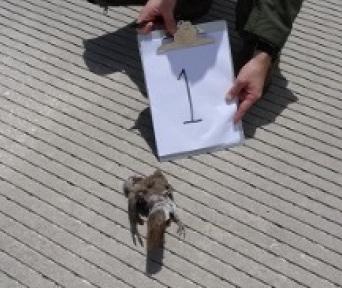 Тушка голубя, найденная на полосе