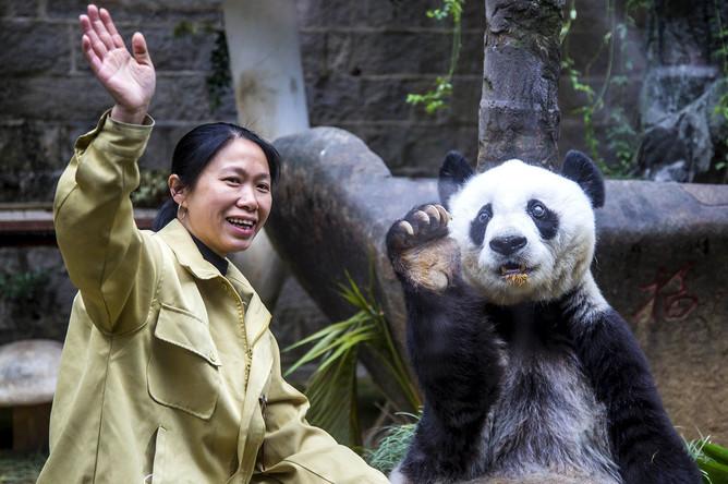 Гигантская панда Баси в день своего 35-летия, 2015 год
