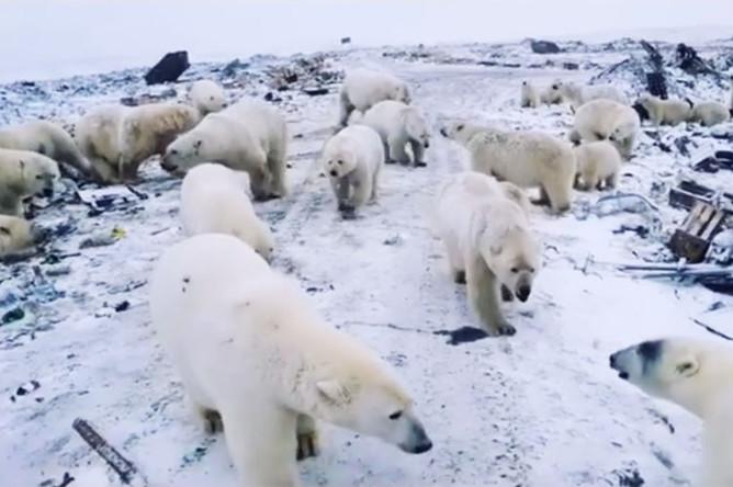 Нашествие белых медведей на Новой Земле, февраль 2019 года
