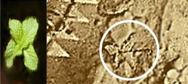 Гипотетическое растение Венеры с четырехлистником у основания и «бутоном» на верхушке...