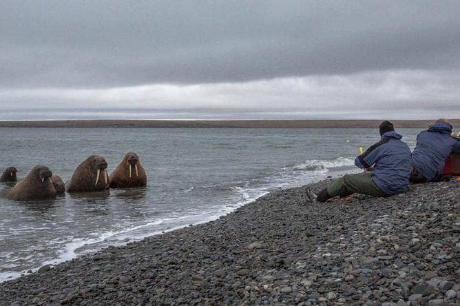 Первыми к лежбищу моржей подползли ученые. Им надо взять пробы. «Ученые стреляют из специального арбалета маленькими стрелами, которые зацепляют крошечный кусочек жира животных. Затем с помощью специальной веревки этот кусочек жира достается из упитанного моржового тельца. Складывается в специальные контейнеры и замораживается», — объясняет Татьяна Баева.