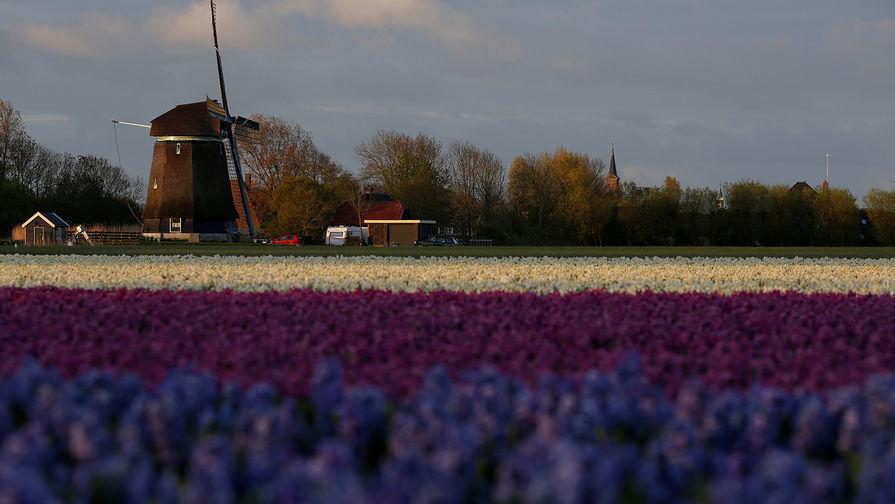 В Голландии уничтожили 140 миллионов тюльпанов из-за коронавируса