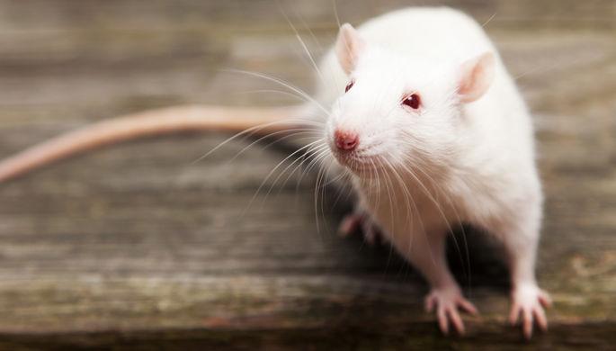 Крыса безмозглая: как нейропластичность помогает выжить