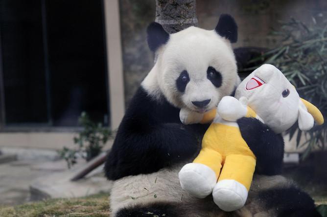 Гигантская панда Баси в центре исследования гигантских панд Фучжоу провинции Фуцзянь