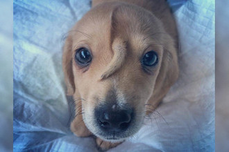 Не виляет и не мешает: в США найден щенок с хвостом на лбу