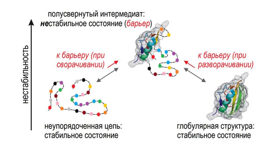 Образование уникальной белковой глобулы из неупорядоченной цепи (как и ее разворачивание) требует преодоления «барьера», имеющего вид нестабильной «полусвернутой» глобулы (рис.1)