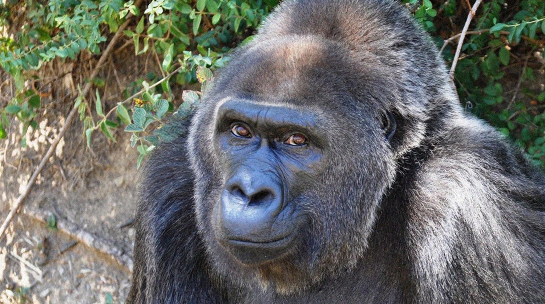 Умерла старейшая в мире горилла - Газета.Ru   Новости