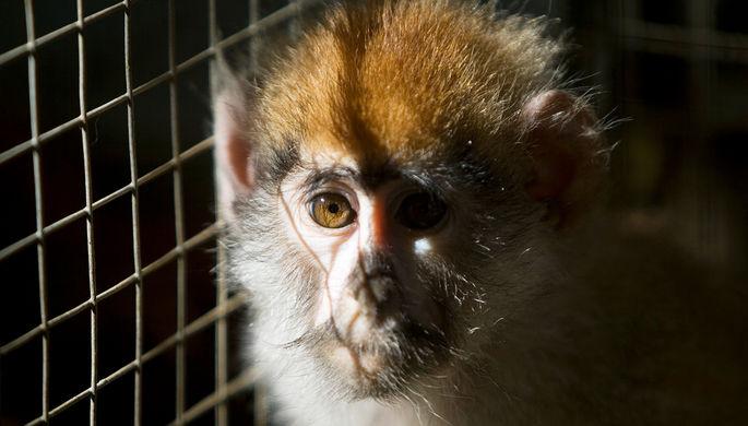Скандал в NASA: почему усыпили лабораторных обезьян