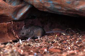Отравленные мыши снизят популяцию змей на острове Гуам