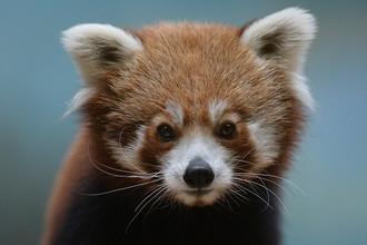 Самец красной панды