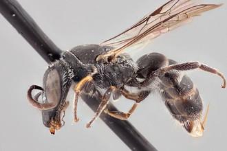 Пчела Chilicola charizard, названная в честь покемона Чаризарда.
