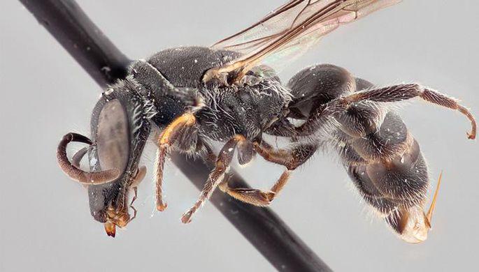 Считавшуюся вымершей самую большую пчелу в мире нашли в Индонезии спустя 38 лет