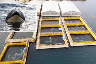 Косатки сбежали: что будет с «китовой тюрьмой»