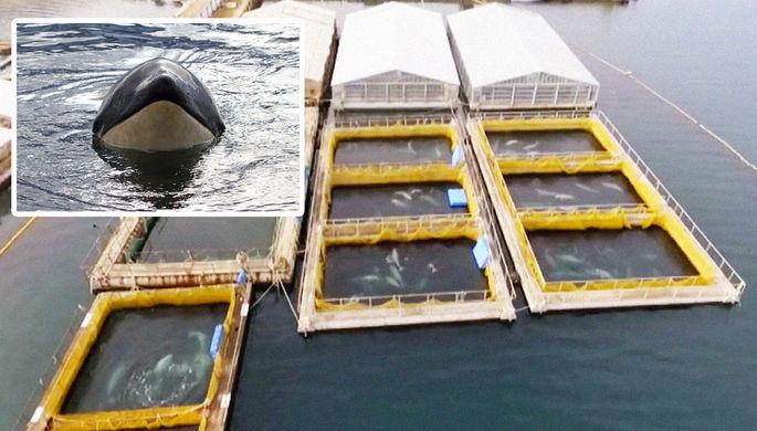 Белух и косаток начали вывозить из «китовой тюрьмы»