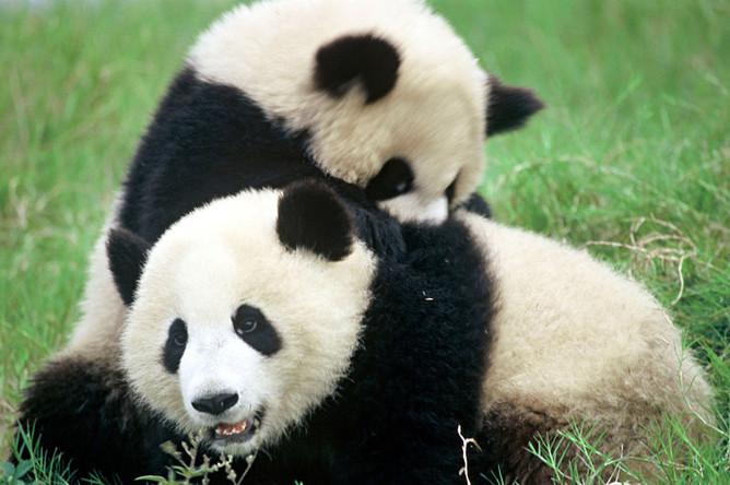Любовная песнь большой панды похожа на птичье щебетание и блеяние одновременно. Однако в неволе они теряют интерес к сексу, поэтому есть распространенное убеждение, что панды с трудом размножаются. Но в дикой природе у них проблем не возникает. Самки готовы к размножению всего два-четыре дня в году, и самцам надо успеть уложиться в этот промежуток. В поисках любви панды без устали ходят, покусывают ветки, чтобы оставить метку для партнера. В общем, главная проблема для диких панд вовсе не размножение, а исчезновение мест обитания. Сейчас, по данным WWF, в дикой природе живет 1600 панд