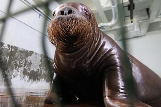 Морж в бассейне научно-адаптационного корпуса Приморского океанариума во Владивостоке, 2015 год