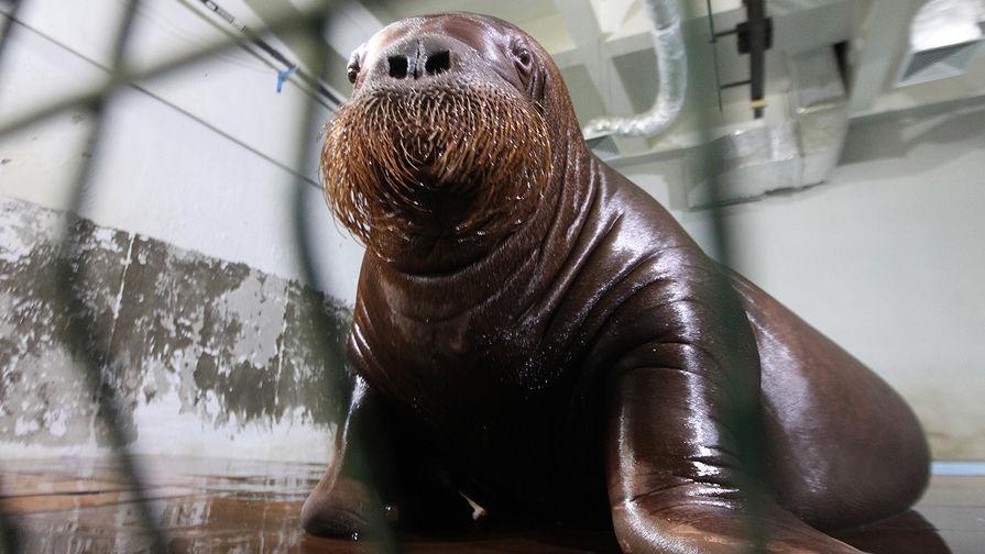 Тульские пожарные спасли моржей от перегрева, пять часов поливая их водой