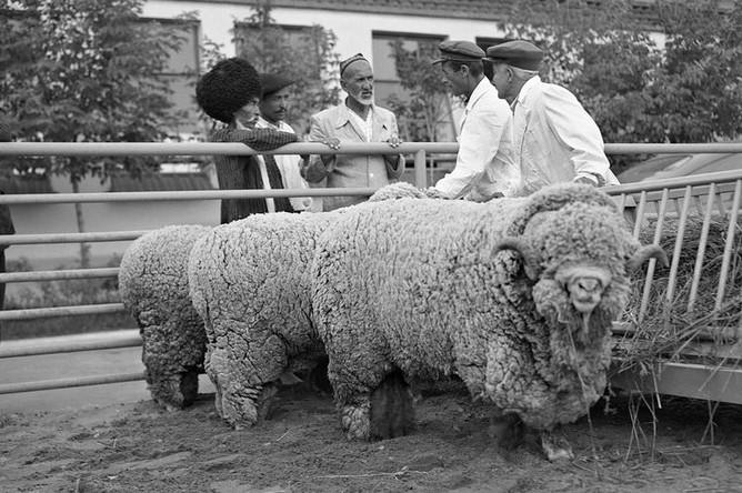 Бараны породы меринос на выставочной площадке на ВДНХ, 1954 год