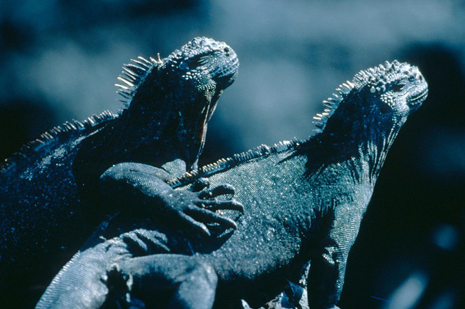 Ухаживая за самкой, морская игуана подходит к ней с низко опущенной головой. Затем самец начинает быстро кивать, ходить вокруг нее кругами или пристраиваться к ней бок о бок. Потом он закидывает переднюю лапу через самку и взбирается ей на спину. В этом положении он пытается слегка укусить кожу на ее шее или плече. Нередко самка пытается сбежать, тогда самцу приходится орудовать хвостом, обхватывая тело партнерши