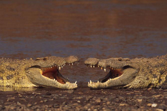 Интерес к сексу нильские крокодилы проявляют к десяти годам. Увидев самку во время брачного сезона, самец ревет, шлепает мордой по воде, выдувает воду из ноздрей и издает разные звуки. Самки выбирают ухажеров по весу: чем самец крупнее, тем лучше. Если самке не понравился самец, она уплывет, если же любовь взаимна, крокодилы начинают нежно тереться челюстями с острыми зубами
