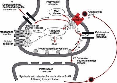 На рисунке изображено, как именно действуют эндоканнабиноиды. Постсинаптический нейрон (на рисунке снизу) запускает «черный шар» анандамида/2-AG, тот действует на «красный» CB1-рецептор, который, в свою очередь, запускает ветвящийся каскад биохимических реакций, по результатам которых активность пресинаптического нейрона (на рисунке сверху) подавляется, и выброс медиаторов снижается