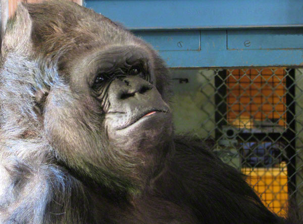 В зоопарке Сан-Диего умерла 60-летняя горилла