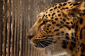 «Ловушки на леопардов» использовались, чтобы ловить хищников небольших или средних размеров