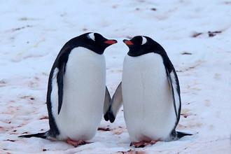 Папуанские пингвины — изысканные ухажеры, они подкупают самок красивыми камушками. При знакомстве птицы низко кланяются друг другу, почти до земли. Самец выпячивает грудь, задирает вверх голову и начинает кричать. После того как пара сформировалась, уже оба партнера начинают кричать, причем еще громче, — это своего рода приветствие друг другу. Перед спариванием самец приобнимает самку и может нежно покусывать ее за шею
