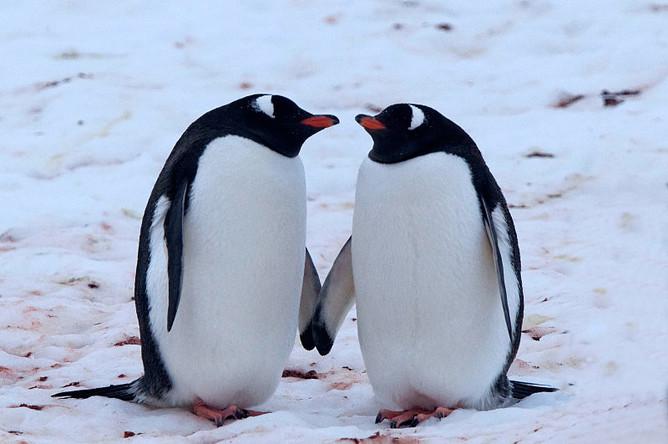 Папуанские пингвины — изысканные ухажеры, они подкупают самок красивыми камушками. При...