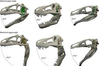 Оптимальный и максимальный угол раскрытия челюстей тираннозавра, аллозавра и эрликозавра