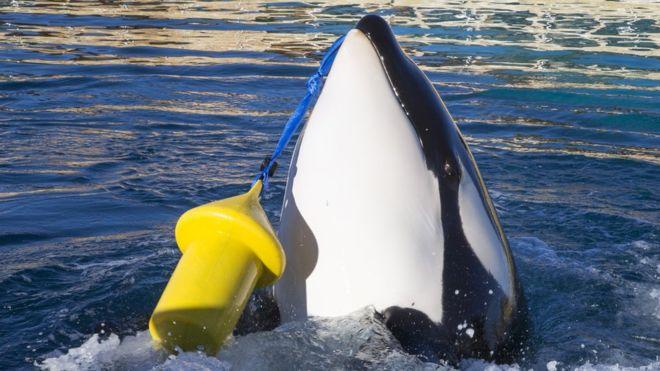 Стало известно, когда косаток выпустят из «китовой тюрьмы» в Приморье
