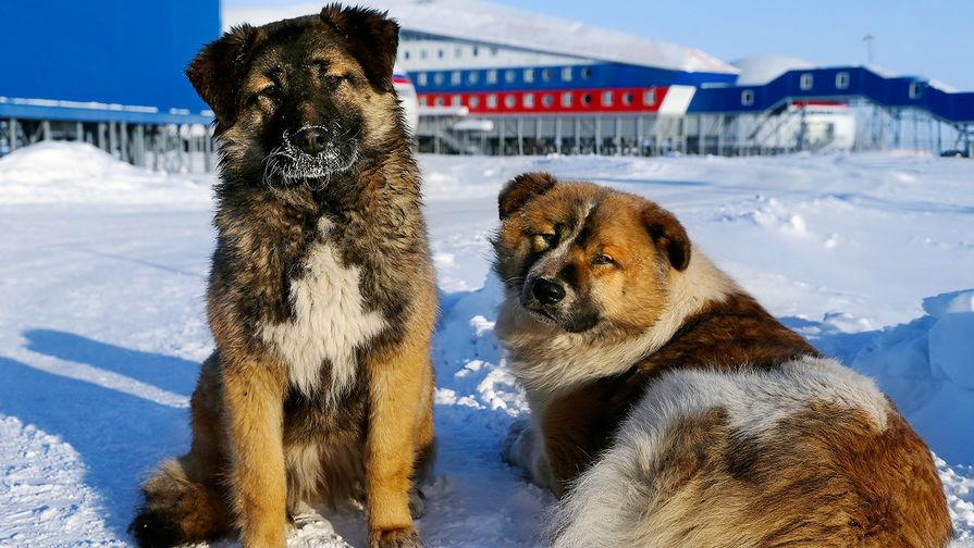 Собаки на территории российской военной базы «Арктический трилистник» на острове Земля Александры архипелага Земля Франца-Иосифа, апрель 2017 года