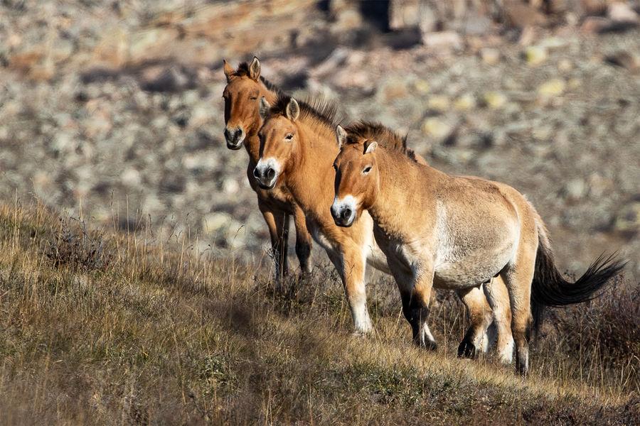 Лошади Пржевальского натерритории национального парка Хустайн Нуруу, расположенного в100 километрах кзападу от Улан-Батора