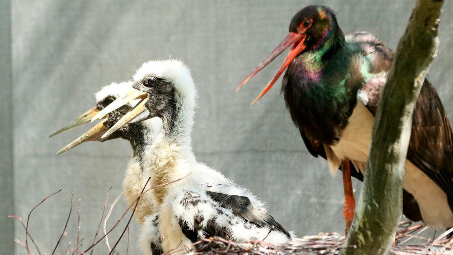 Два птенца краснокнижных черных аистов родились в Московском зоопарке