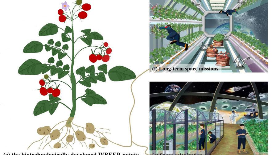 Китайцы предложили выращивать в космосе ГМО-картошку с вкусной ботвой